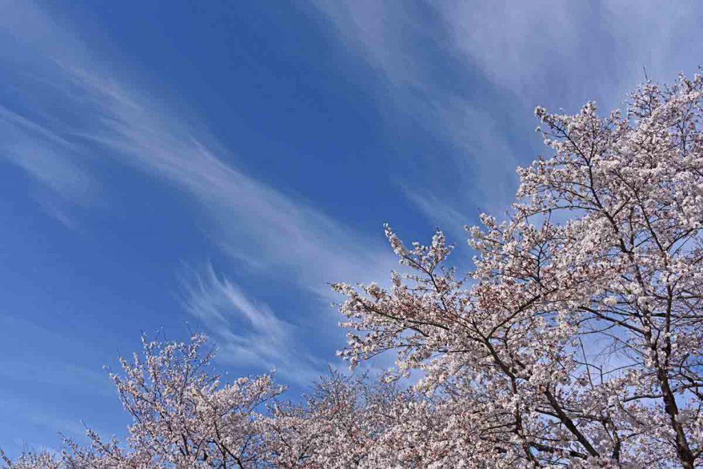 この画像には alt 属性が指定されておらず、ファイル名は 満開の桜大和郡山市ファミリー公園で)-1024x683.jpg です
